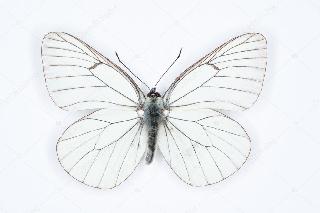 Schwarze Adern weißen Aporia Crataegi, isoliert auf weiss ...