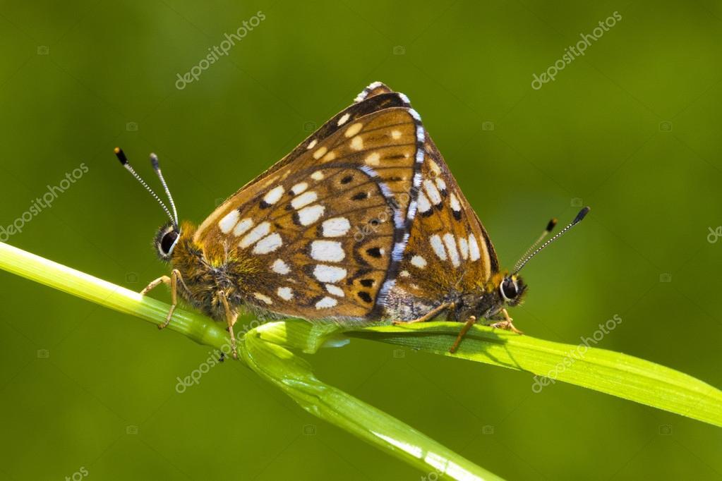 Duke of Burgundy,  Hamearis lucina butterfly