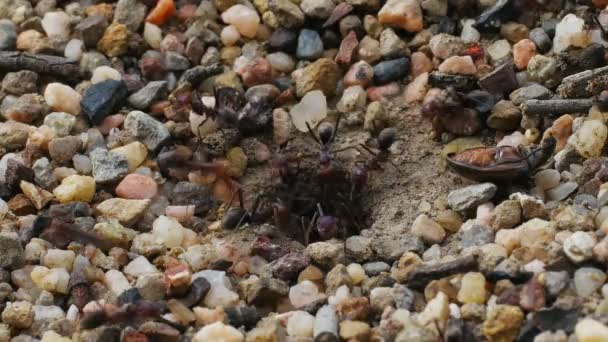 ants carry stones out of nest