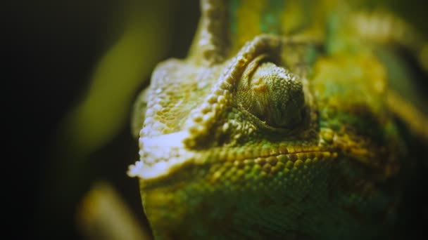 oko chameleon jemenský