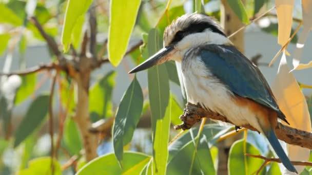 Kookaburra ült egy gumifa