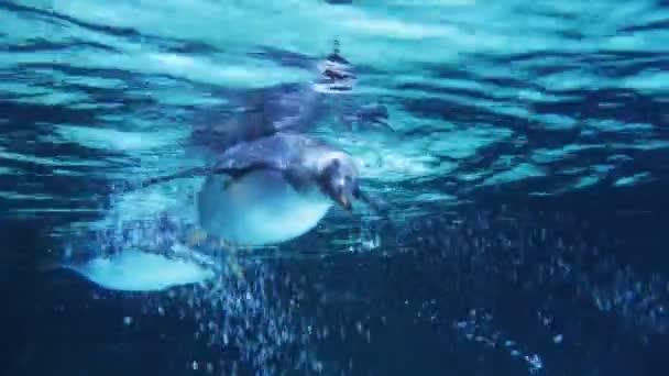 Gentoo pingvin víz alatti úszás