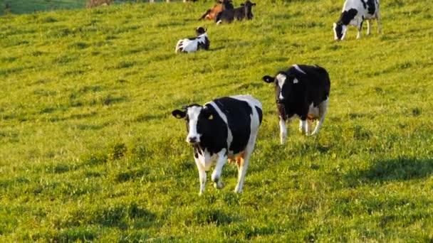 cows walk towards the camera