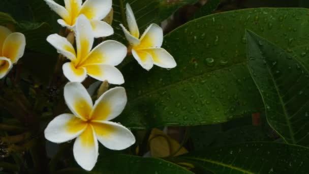 fehér frangipáni virágok