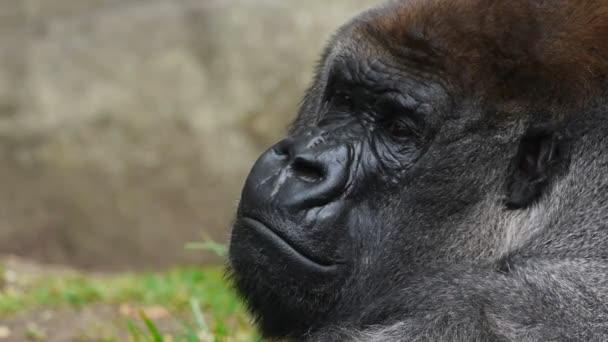 male silver-back gorilla