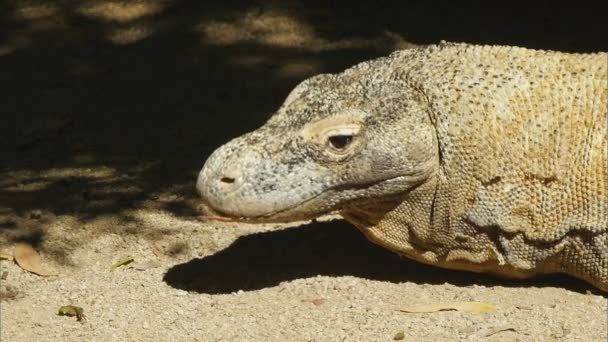Komodo dragon ještěrka