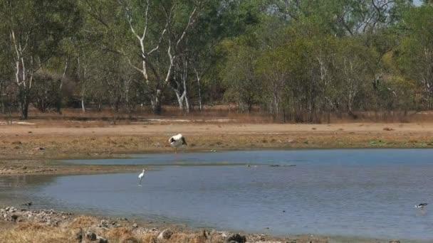 ptačí život v bird billabong v mary river national park