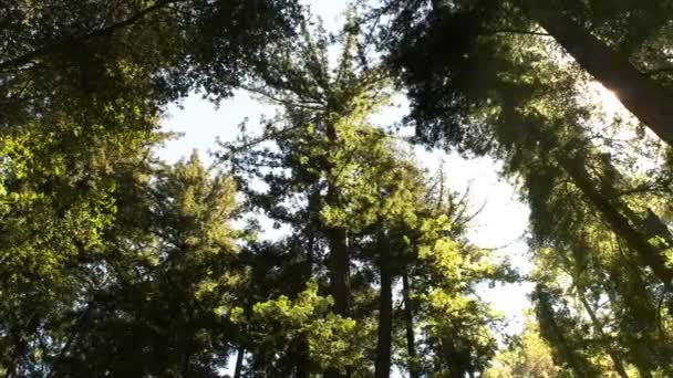 canopy of a coastal redwood forest