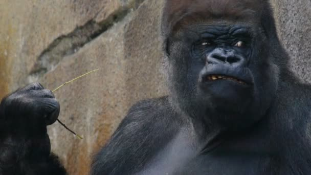 gorilla scratching its head