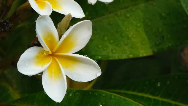 bílé a žluté plumeria