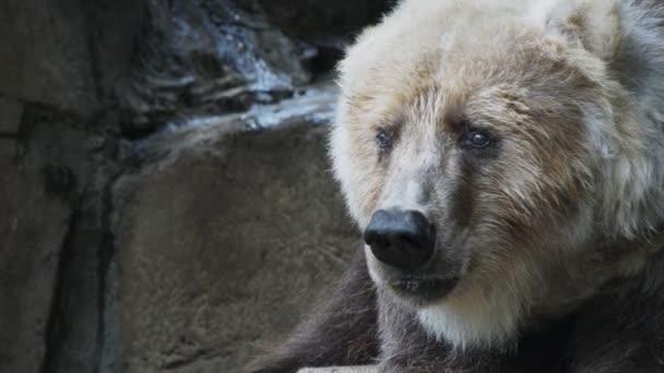 hnědý medvěd Kodiak