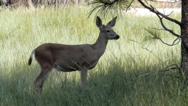 jeleny krmení na louce