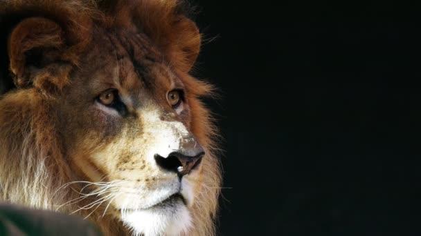 hím oroszlán állatkertben