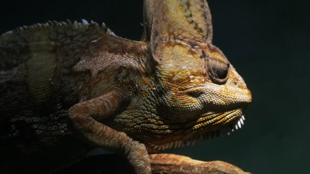 Chameleon rozhlížet