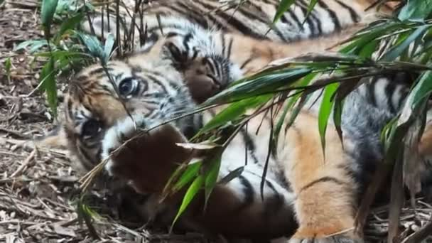three Sumatran tiger cubs