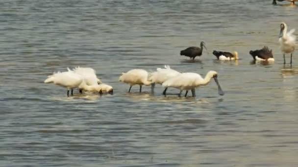 Královské kolpíků u bird billabong