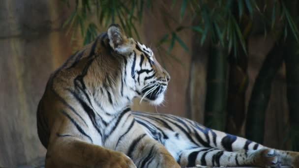 sumartran tygr, kterým se stanoví