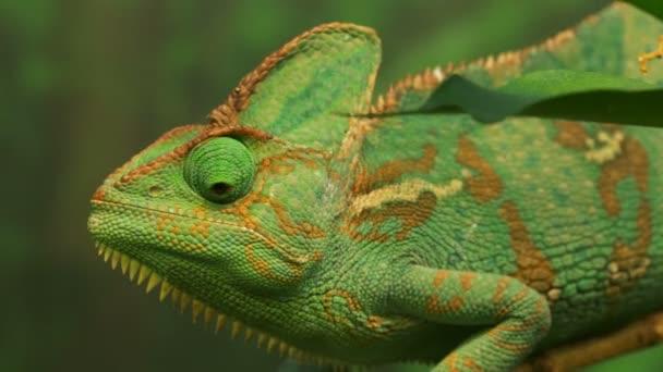 Ještěrka zelená chameleon jemenský