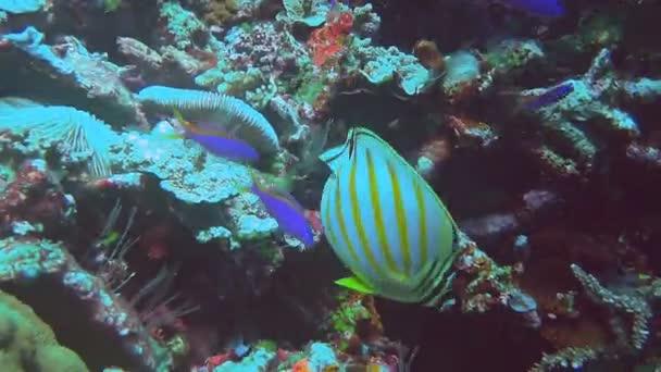 etetés a korallzátonyok pillangóhal