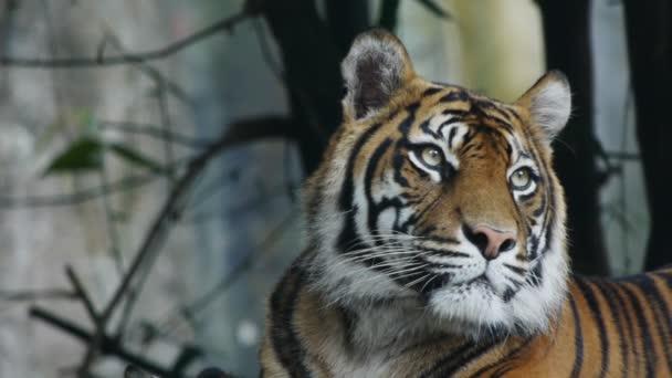 Tigre di Sumatra che sbadiglia