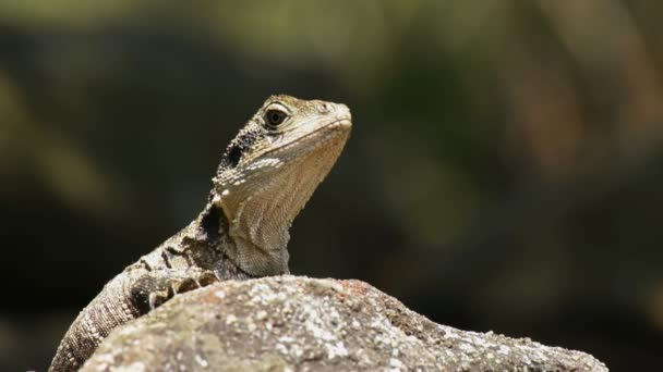 water dragon lizard on a rock