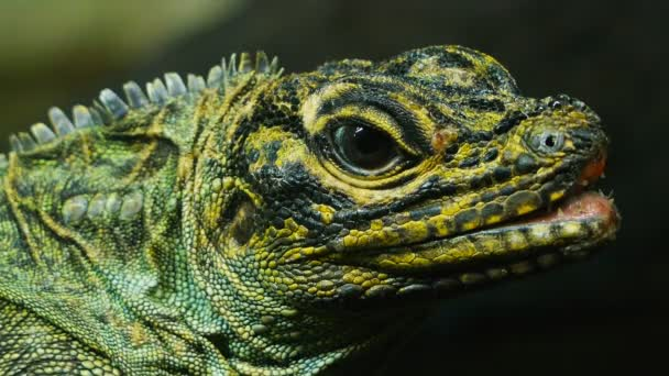 head of a philippine sailfin lizard