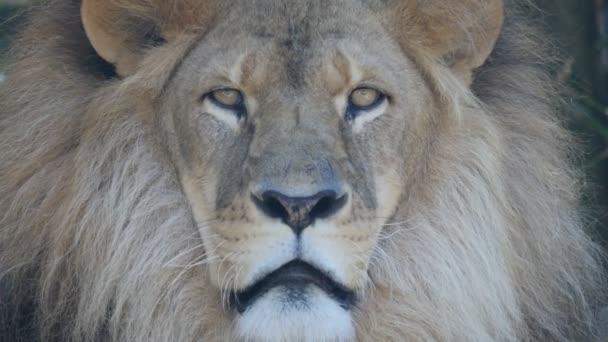 arc egy hím oroszlán