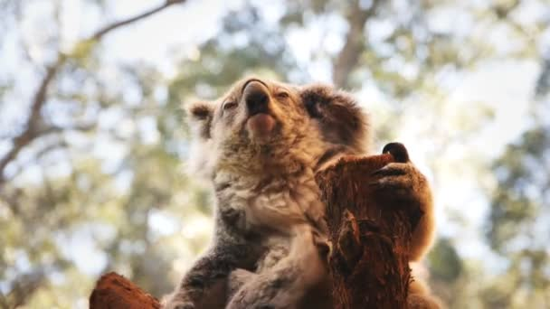 koala bear scratching