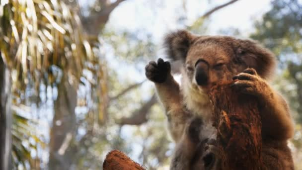 Koala scratching itself