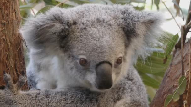 koala looking around