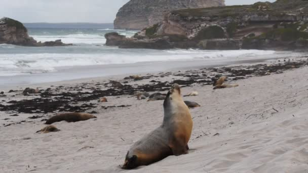 sea-lions on a beach at seal bay