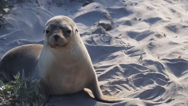 sea-lion pup at kangaroo island