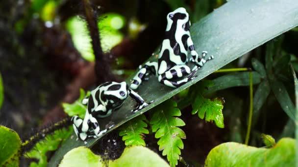 Dendrobatidae auf eine Bromelie-Blatt