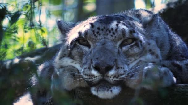 endangered snow leopard resting