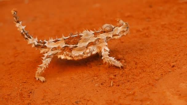 trnité drak kráčející po pouštní