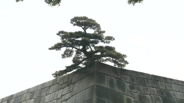 Közelíts rá egy fenyőfára, ami a császári palota keleti kertjének fala közelében nő Tokyoban.