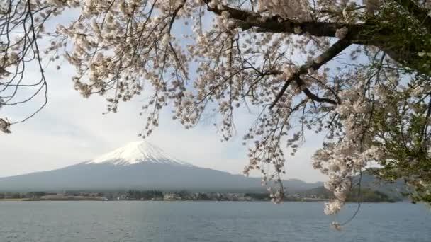 velká třešeň v květu na břehu jezera kawaguchi s mt fuji v dálce u kawaguchiko