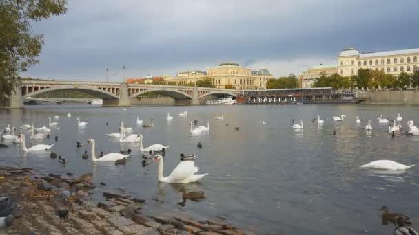 Schwäne und Enten beim Fressen neben der Moldau in Prag