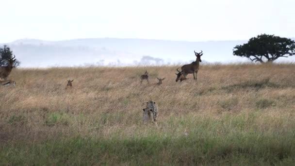 gepardí pár pomalu blíží hartebeest antilopy v národním parku Serengeti