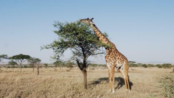 wide view of a giraffe feeding on acacia leaves at serengeti national park