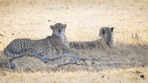 gepardí pár odpočívající ve stínu v národním parku Tarangire