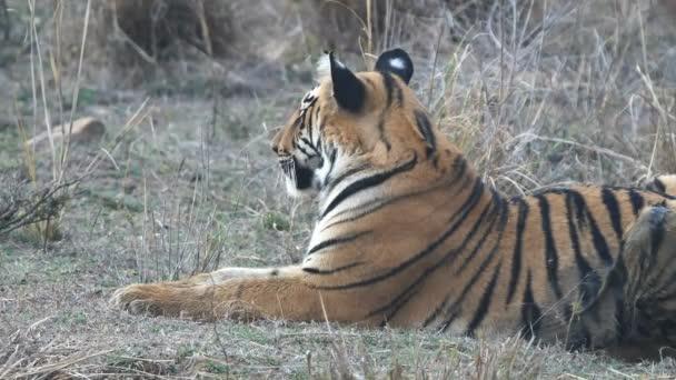 oldalnézetben egy tigris kölyök tadoba tigris tartalék Indiában - 4K 60p
