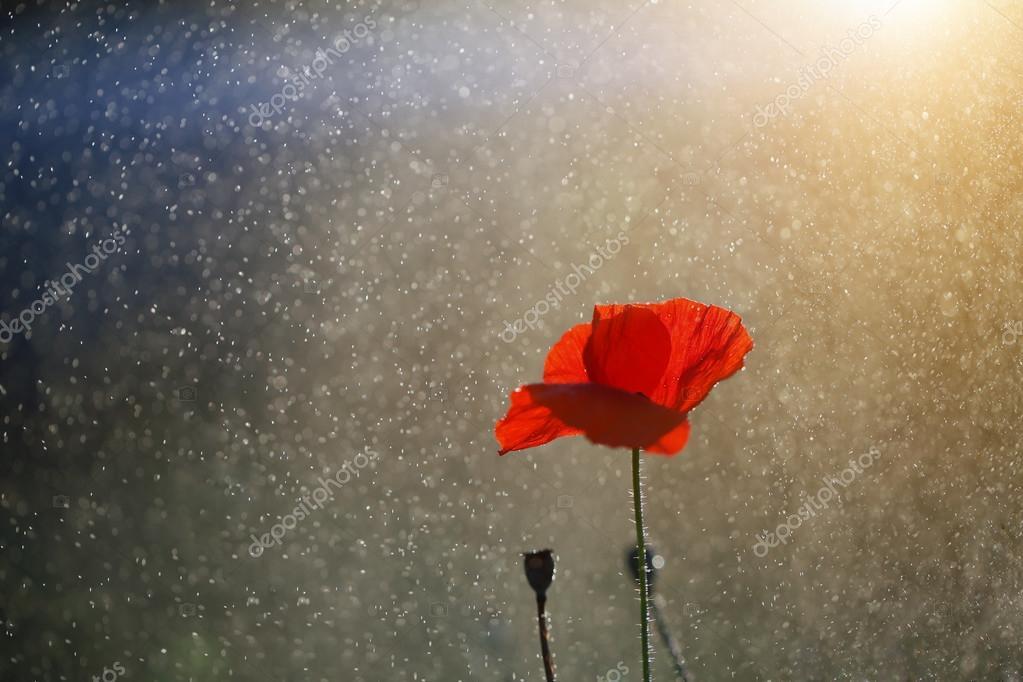 A lone red poppy