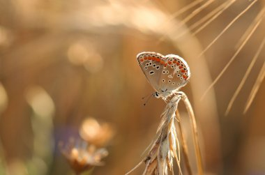 Common blue summer rest 2