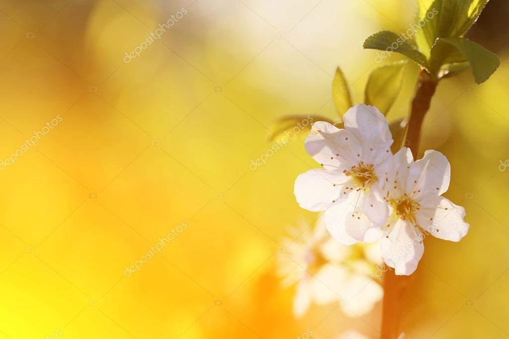 Cherry blossom at sunset 2