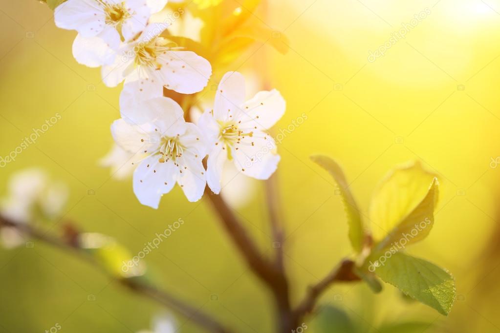 Cherry blossom at sunset 1
