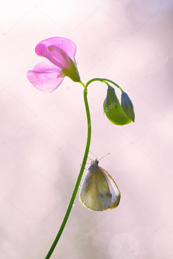 Butterfly on peas fragrant