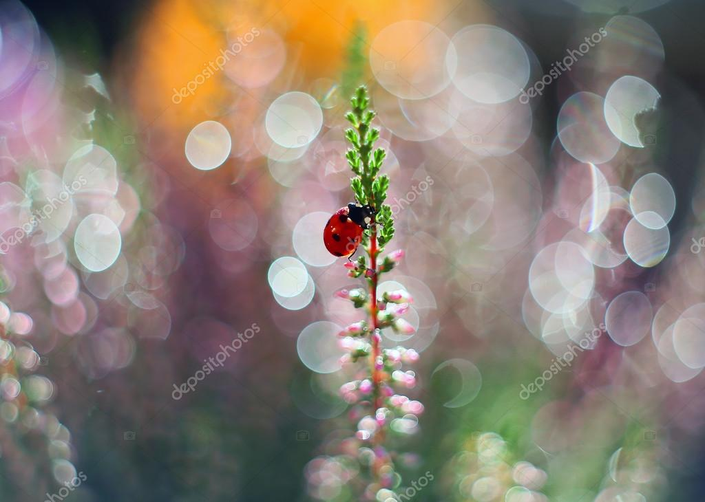 Ladybug likes the smell of heather flower