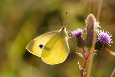 Lonely Pieris brassicae
