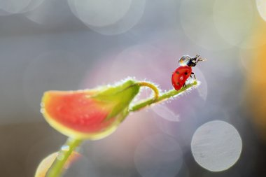 A drop of water on a ladybird